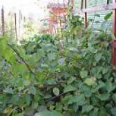 Агротехніка вирощування актинідії коломікта