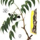 Бархат амурський - рослина лікарська
