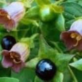 Беладона беладона - рослина лікарська