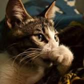 Чим лікувати кішку від застуди