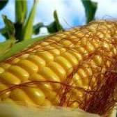 Чим корисна свіжа кукурудза?