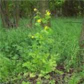 Чистотіл лікувальні властивості трави