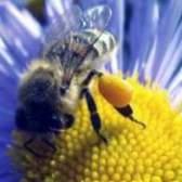 Квітковий пилок: лікування, властивості, користь