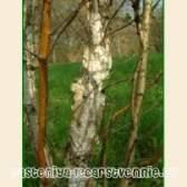 Дерево береза   ермана (кам`яна)