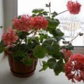 Герань: догляд в домашніх умовах за рослиною