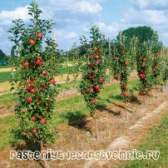 Яблуня колоновидна: посадка і догляд, опис дерева