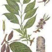 Китайське гутаперчеве дерево