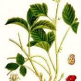 Кістянка кам`яниста - рослина лікарська