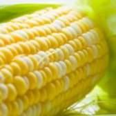 Кукурудза та її корисні властивості і протипоказання, рецепти