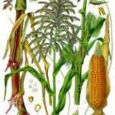 Культурна рослина кукурудза