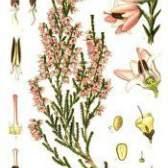 Чагарник верес звичайний - вічнозелена рослина: лікувальні властивості
