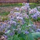 Лікувальні властивості огіркової трави
