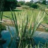 Лікування кореневищем лепехи болотного
