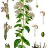 Трава материнка звичайна - протипоказання, фото, властивості, лікування