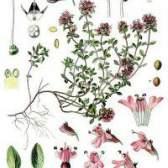 Трава чебрець звичайний