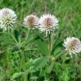 Лікарська рослина белоголовка