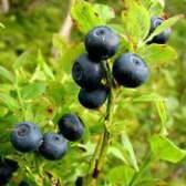 Лікарська рослина чорниця звичайна