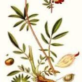 Лікарська рослина язвенник багатолистий