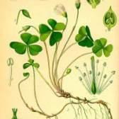 Лікарська рослина кислиця oxalis