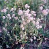 Лікарська рослина конюшина пашенний