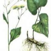 Лікарська рослина крестовнік ромболістний