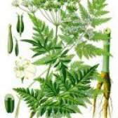 Лікарська рослина купирь лісової