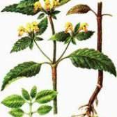 Лікарська рослина пікульнік красивий