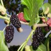 Лікарська рослина шовковиця чорна