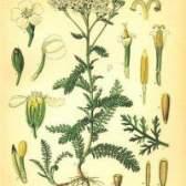 Лікарська рослина деревій звичайний