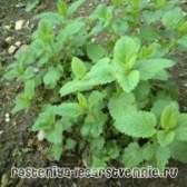 Мелісса: вирощування і догляд