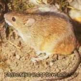 Мишача лихоманка передається від людини до людини?