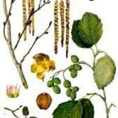 Вільха дерево - фото, застосування, лікування, лікувальні властивості, заготівля