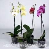 Орхідея: вирощування і догляд в домашніх умовах