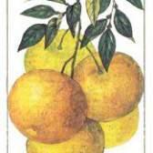 Плодове дерево грейпфрут