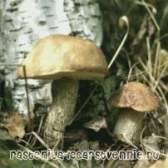 Підберезник гриб, опис, користь, шкода