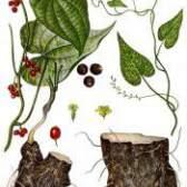Рослина адамов корінь