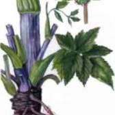 Рослина дягель лікарський - фото, властивості, протівопоказнія