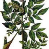 Рослина дудник лісовий