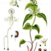 Рослина яcнотка біла
