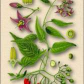 Рослина паслін отруйний - властивості, фото, застосування, протипоказання
