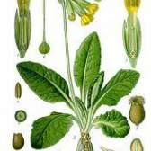 Рослина первоцвіт лікарський - примула властивості, опис, фото