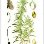 Рослина розмарин лікарський