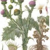Рослина татарник колючий
