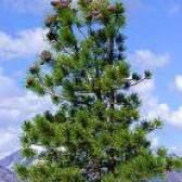 Розмноження сибірського кедра насінням