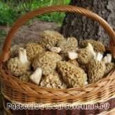 Зморшки (гриби) - фото, опис, приготування
