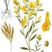 Трава дрік фарбувальний - фото, властивості, застосування