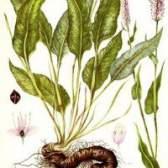 Трава горець зміїний - лікарська рослина, застосування, протипоказання