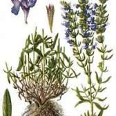 Трава ісопу лікарський - фото, застосування, опис