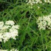 Трав`яниста бузина: лікарська рослина
