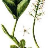Трав`яниста рослина трилисник водяний